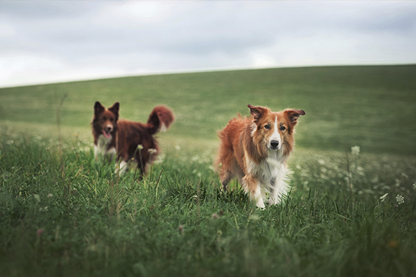 Two collie mixes running through a field